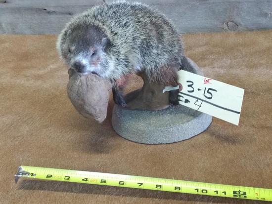 Cute Little Baby Groundhog Relaxing On Drift Wood New Full Body Mount