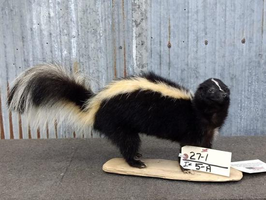 """Full Body Mount Skunk New Mount overall dimensions 24"""" long X 11"""" tall"""