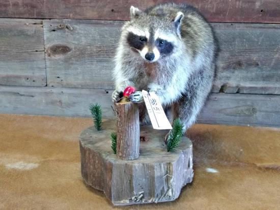"Full Body Mount Raccoon Eating An Apple 21"" tall X 21"" long x12"" wide"