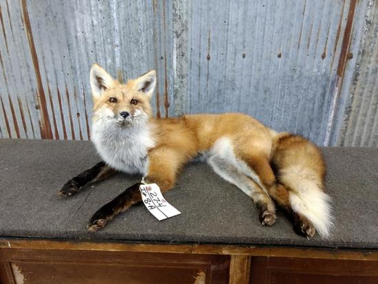 Full Body Mount Red Fox Laying Pose New Mount