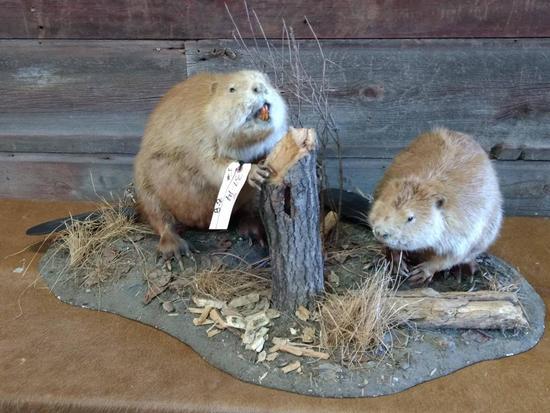 2 Full Body Mount Beavers On Habitat Base