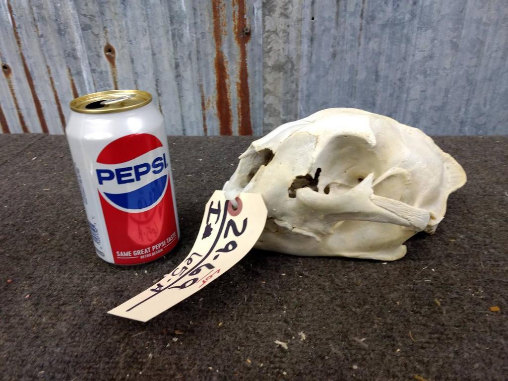 Lot: Mountain Lion Skull | Proxibid Auctions