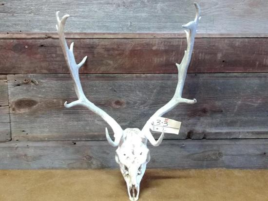"""Fallow Deer Antlers On Skull overall dimensions 30"""" tall X 21"""" wide"""