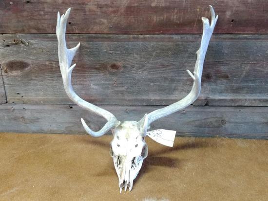 Fallow Deer Antlers On Skull