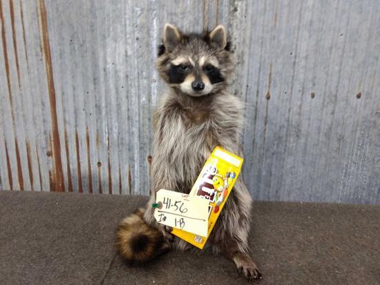 Full Body Mount Raccoon Eating M&M's