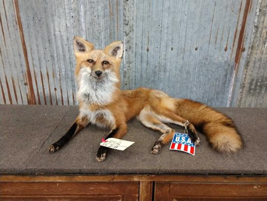 Full Body Mount Red Fox