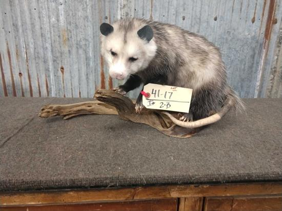Full Body Mount Opossum On Driftwood