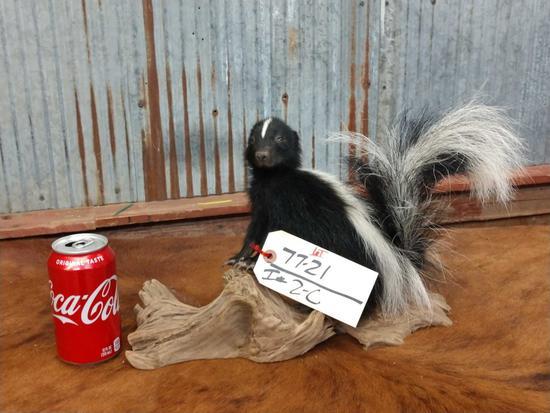 Full body mount juvenile skunk on driftwood