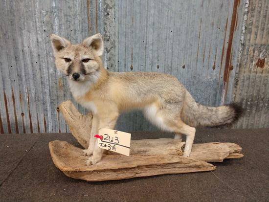 Full Body Mount Juvenile Grey Fox