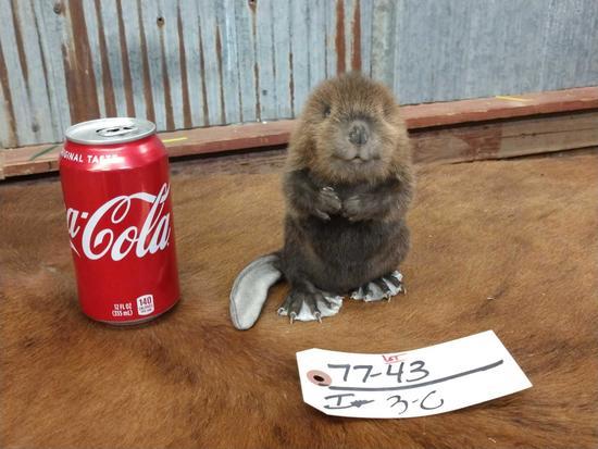 Full body mount baby beaver