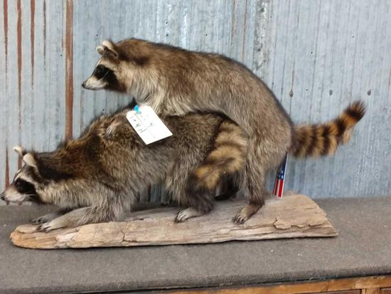 2 Full Body Mount Raccoons Playing Leapfrog