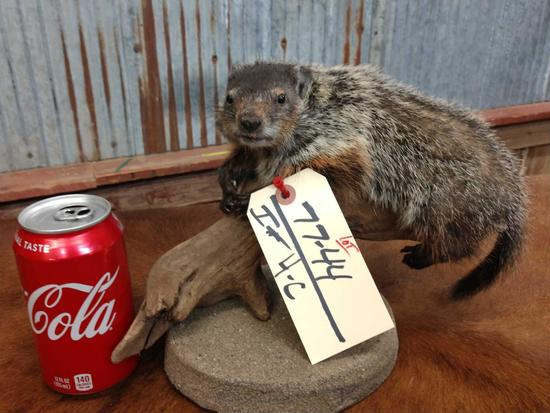 Full body mount juvenile groundhog relaxing on driftwood