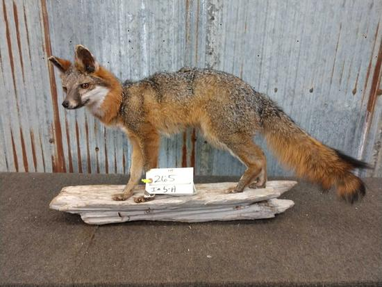 Full Body Mount Grey Fox On Driftwood