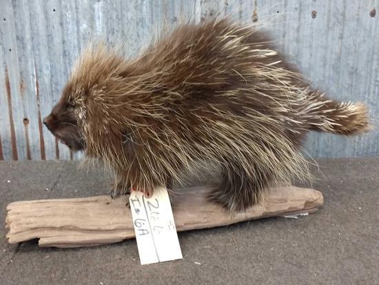 Full Body Mount Porcupine On Driftwood Base
