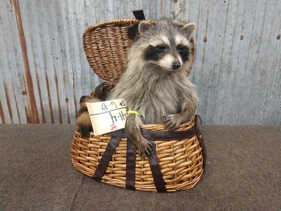 Raccoon Raiding A Fishing Creel