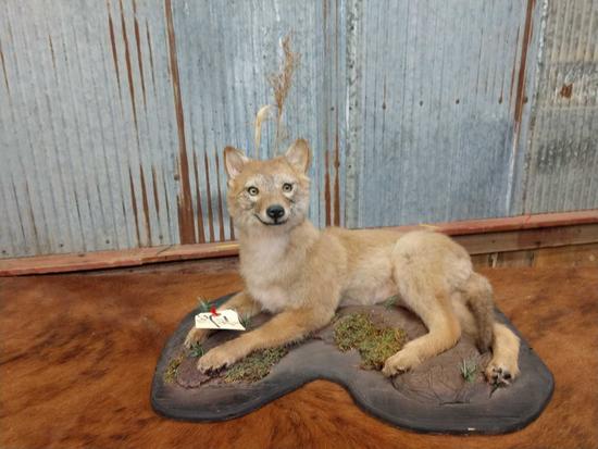 Juvenile coyote full body mount