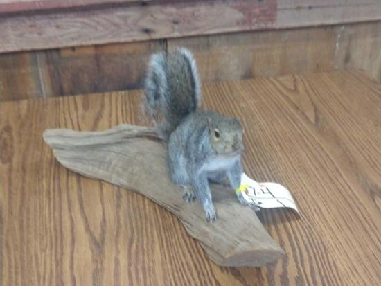 Full body mount gray squirrel