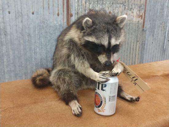 Full body mount raccoon drinking beer