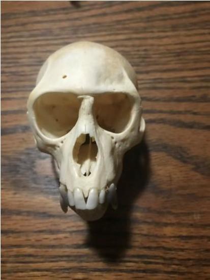 """Male Vervet Monkey Full skull - ALL teeth 4 1/2"""" long x 2 1/2"""" wide"""
