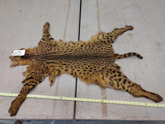 Tanned African serval cat skin
