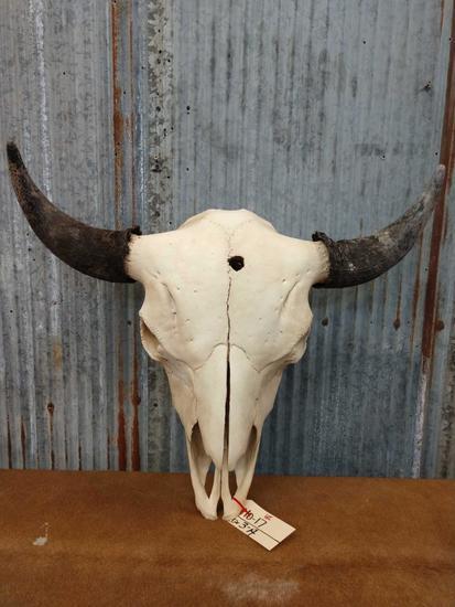 Large herd bull buffalo skull