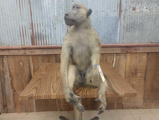 Full Body Mount African Baboon Sitting