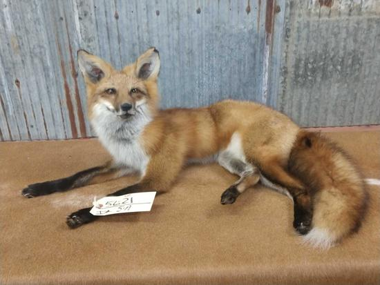 Full body mount red fox laying down