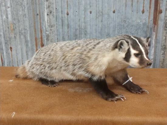 Brand new full body mount badger