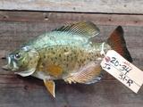 14 inch crappie reel skin fish mount