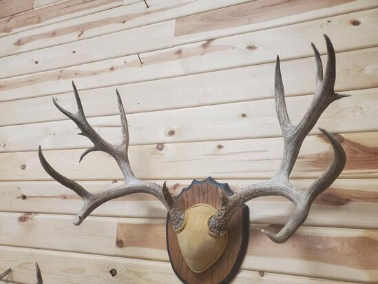 """175"""" mule deer rack 9 x 7 with lots of extra points"""