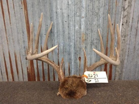 6x5 Whitetail rack on skull plate