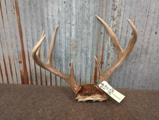 3x4 Whitetail rack on skull plate