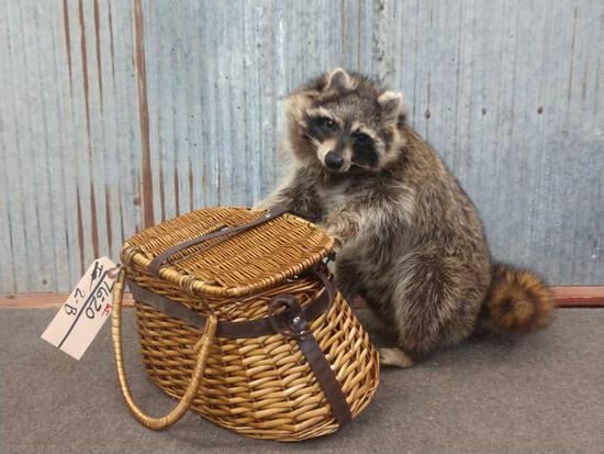 Full Body Mount Raccoon Raiding A Fishing Creel
