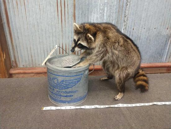 Full Body Mount Raccoon Raiding A Vintage Minnow Bucket