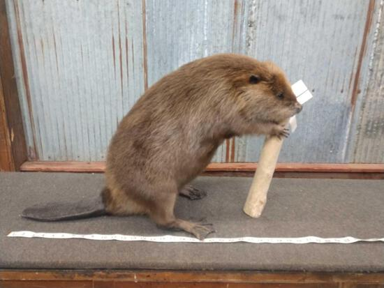Full Body Mount Beaver Chewing On A Stick