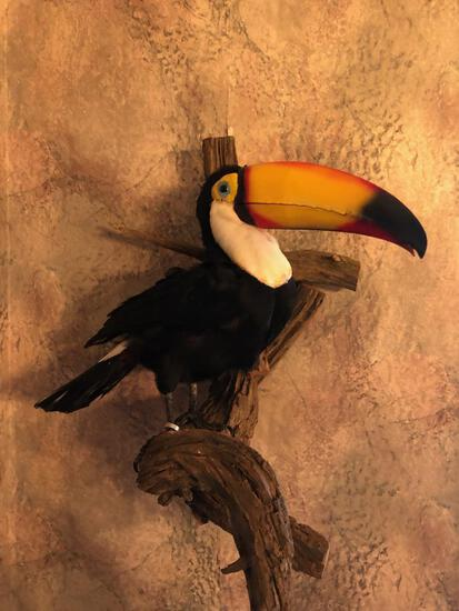 RARE Full Body Mount Toucan Taxidermy
