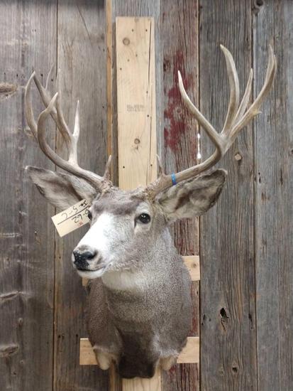 13 Point Mule Deer Shoulder Mount Taxidermy