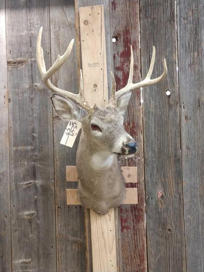 4x4 Whitetail Shoulder Mount Taxidermy