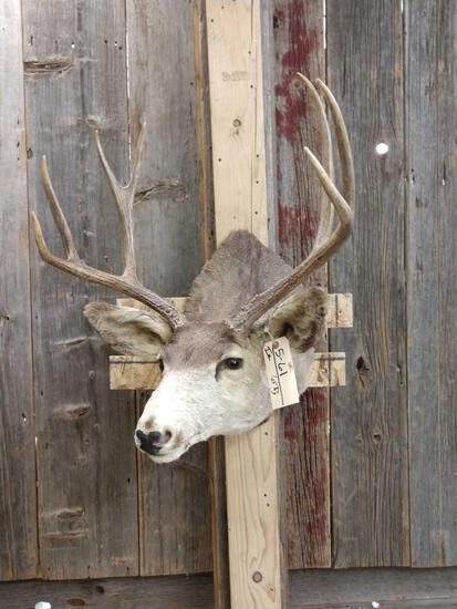 3x4 Mule Deer Shoulder Mount Taxidermy