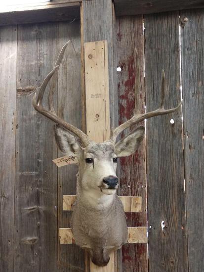 4x4 Mule Deer Shoulder Mount Taxidermy