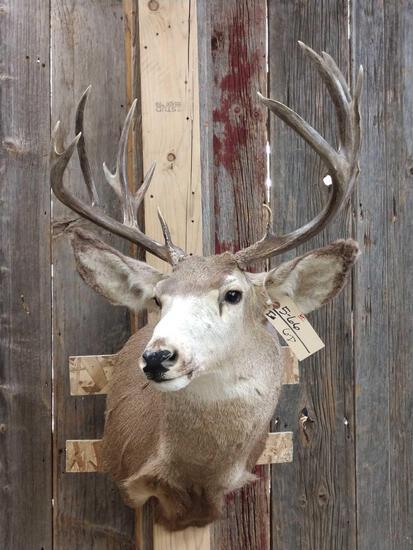 5x5 Mule Deer Shoulder Mount Taxidermy