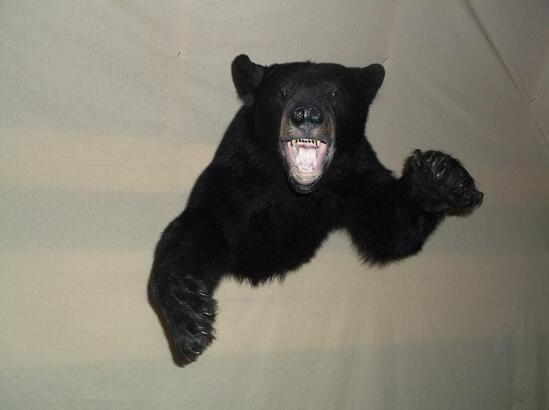 Black Bear Half Body Taxidermy Mount