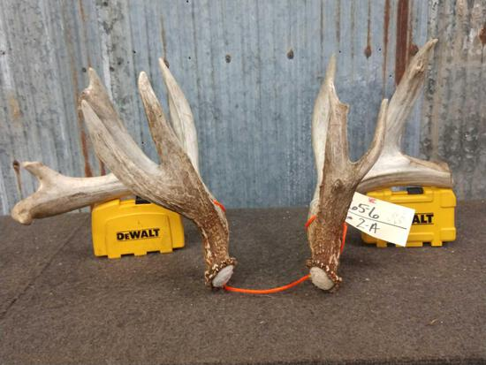 Heavy Mass 4x5 Whitetail Shed Antlers