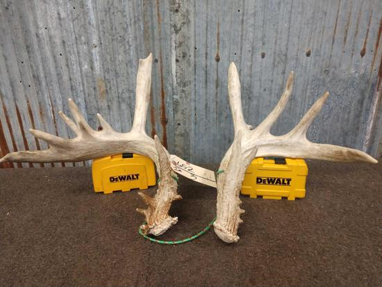 Heavy Mass Whitetail Shed Antlers