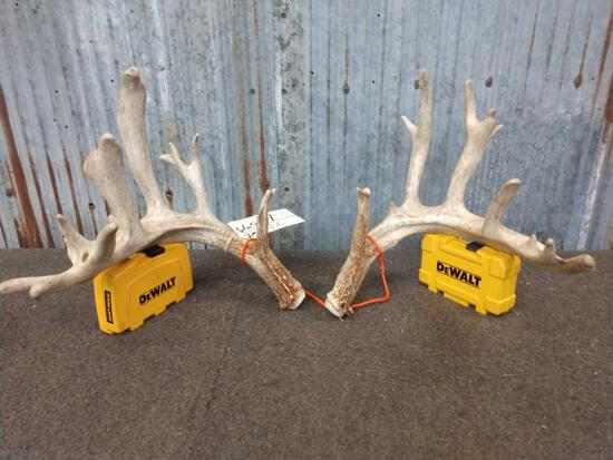 Main Frame 6x6 Whitetail Shed Antlers