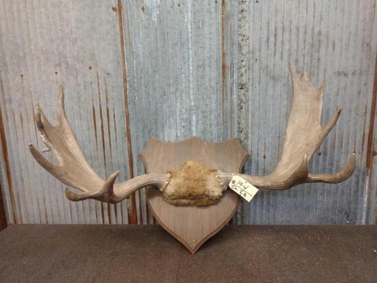"""46"""" Moose Antler On Plaque"""