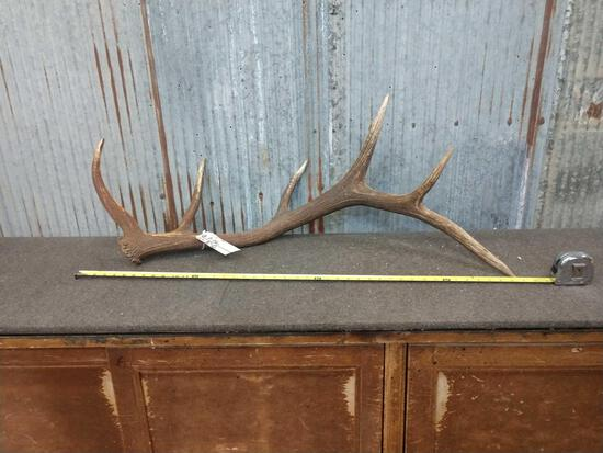 Beautiful 6 point Canadian Elk Shed Antler