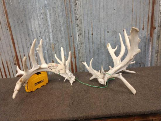Main Frame 5 x 4 Whitetail Shed Antlers