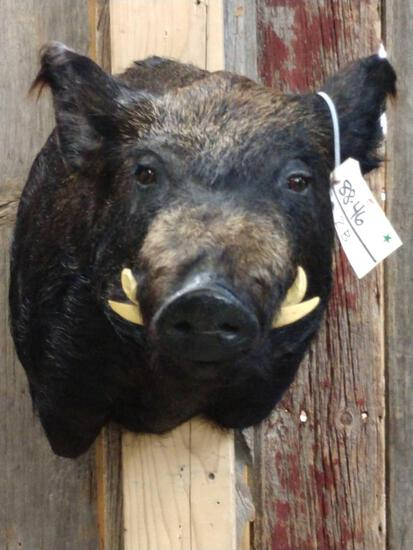 Wild Boar Hog Shoulder Mount Taxidermy