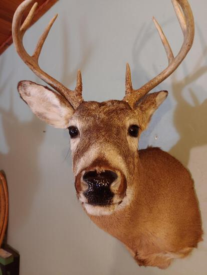 Nice 4x4 Whitetail shoulder Mount Taxidermy